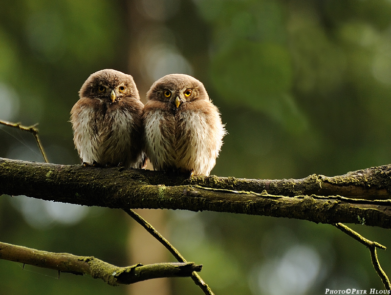 Young pygmy owls