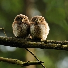 Young Eurasian Pygmy Owl | photography
